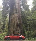 Ruby in the Redwood Forest