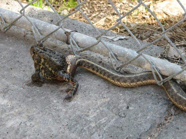 A Small Snake Eating A Large Frog Pelican Parts