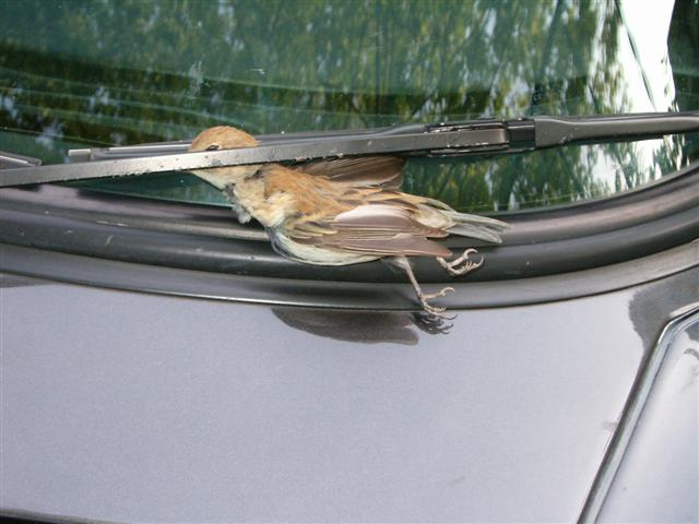 Bird Hit Our Window Pic Pelican Parts Forums